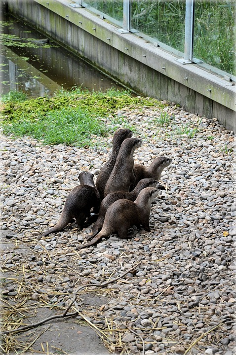 Otter, Otters, Fish, Water, Animal, Wildlife, Wild