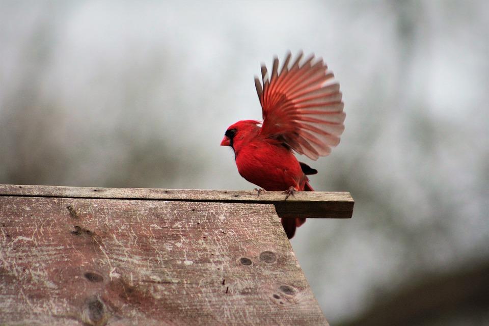 Bird, Nature, Outdoors, Wildlife, Red Bird, Cardinal