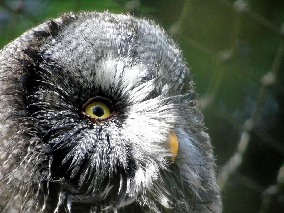 Wildlife, Animal, Bird, Portrait, Nature, Owl, Feather