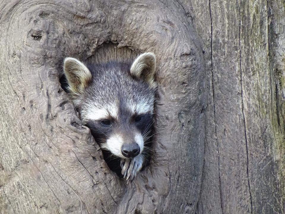 Raccoon, Tree Stump, Wildlife Park