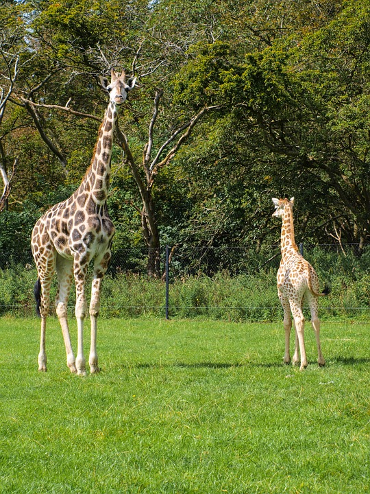 Giraffes, Young, Wildlife Park, Animal, Zoo