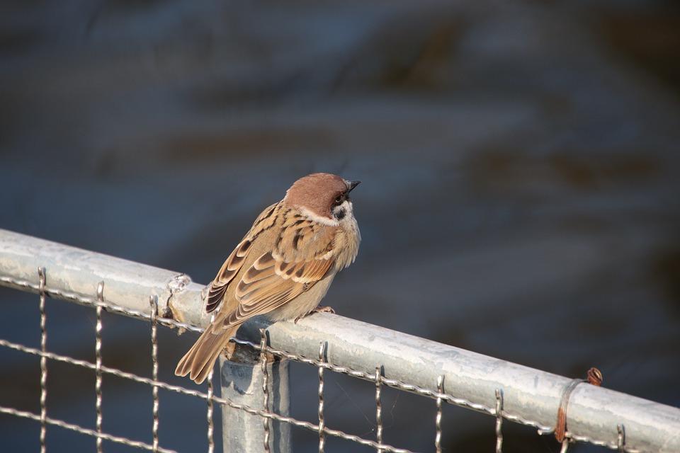 Bird, Sparrow, Fence, Perched, Passerine Bird, Wildlife