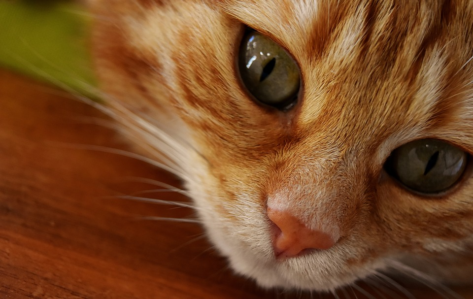 Cat, Mackerel, Wildlife Photography, Portrait, Funny
