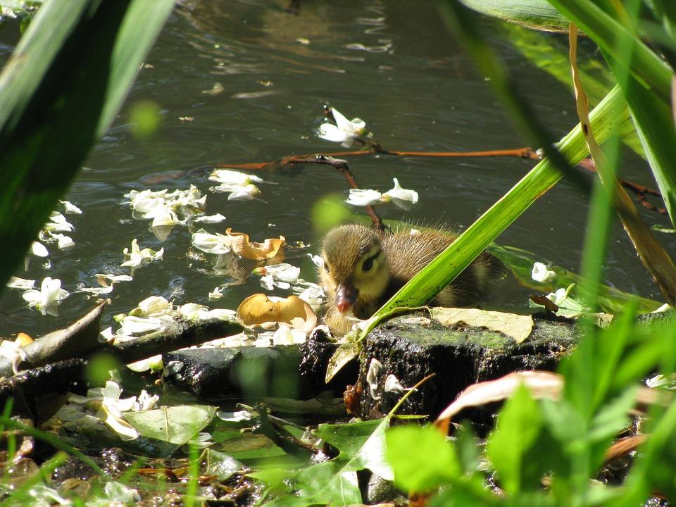 Duck, Chicken, Water, Wildlife Photography, Water Bird