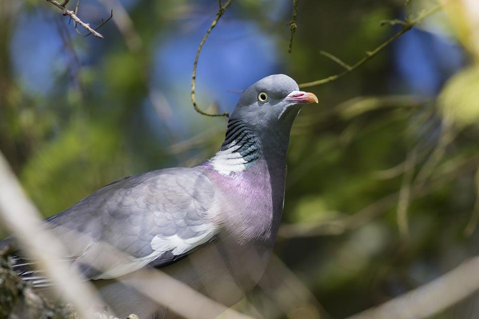 Pigeon, Bird, Wildlife, Nature, Ornithology