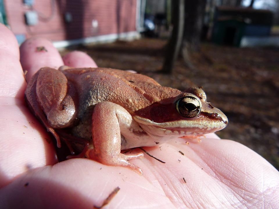 Wood Frog, Pink, Amphibian, Frogs, Wildlife