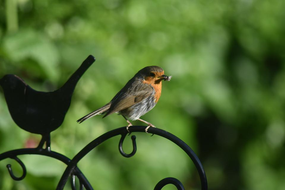 Robin, Bird, England, Nature, Animal, Wildlife, Red