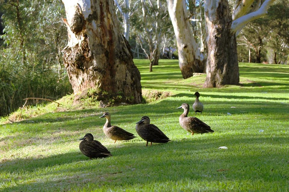 Black Pacific Ducks, Resting, Wildlife, Park