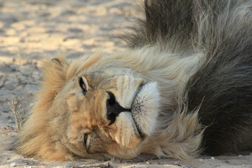 Lion, Resting, Black, Mane, Wildlife, Wild, Animal