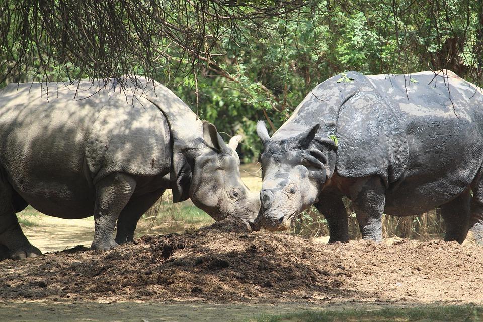 Rhinoceros, Zoo, Couple, Animal, Nature, Wildlife, Wild
