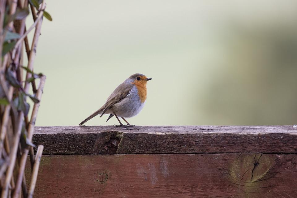 Robin, Garden Bird, Wildlife, Redbreast, Erithacus