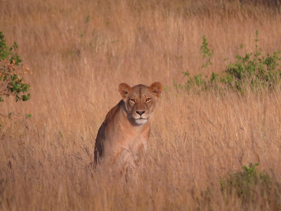 Lioness, Savannah, Africa, Lion, Wildlife, Nature, Cat