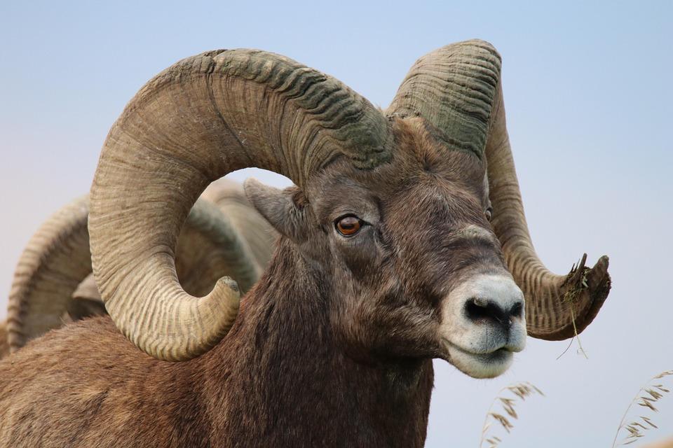 Sheep, Bighorn, Badlands, Rams, Ram, Horns, Wildlife