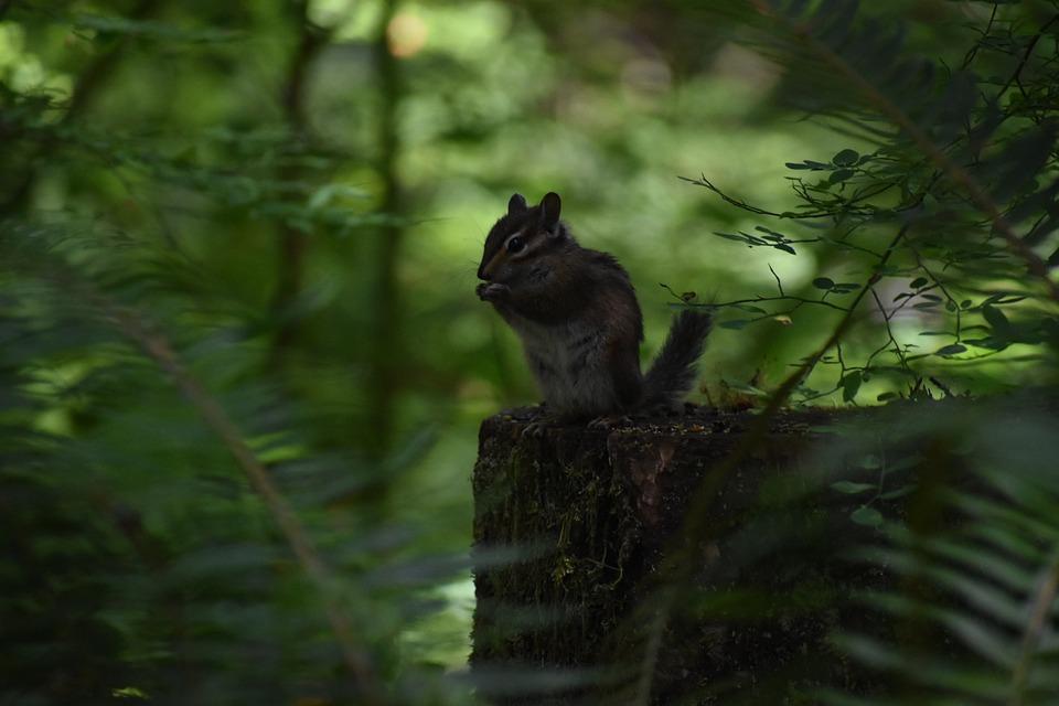 Chipmunk, Squirrel, Rodent, Animal, Mammal, Wildlife