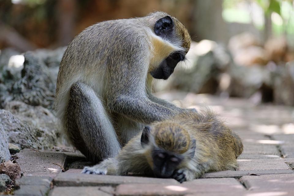 Monkey, Take Care, Animal, Ape, Care, Primate, Wildlife