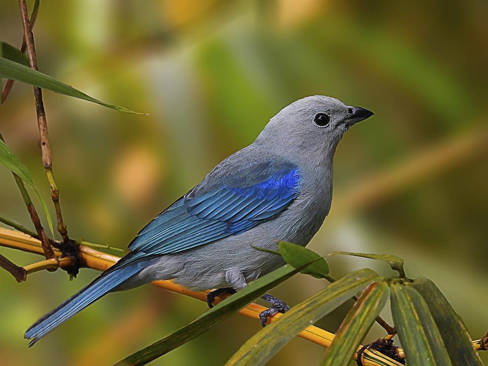 Tanager, Bird, Animal, Blue Gray Tanager, Wildlife
