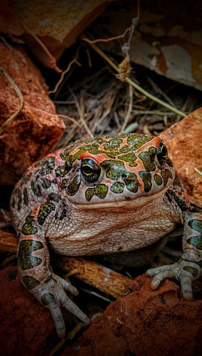 Toad, Frog, Nature, Animal, Wildlife, Amphibia, Small