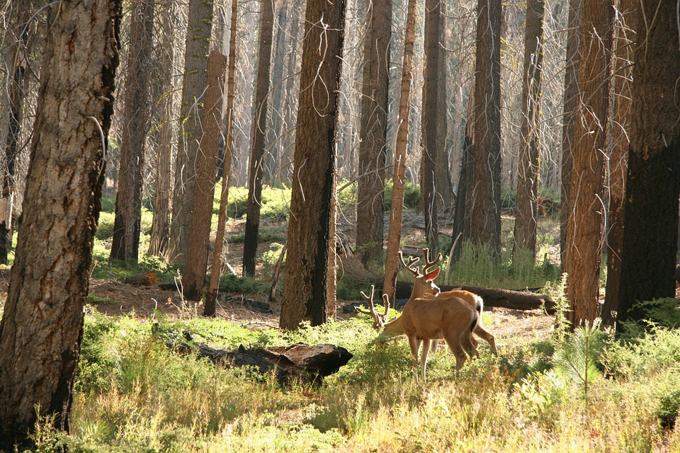 Deer, Wildlife, Forest, Woods, Trees, Mammal, Hunting