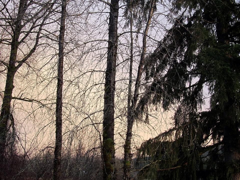 Trees, Grey, Sky, Spooky, Natural, Wildlife, Pine