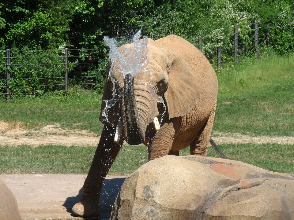 Elephant, Mammal, Zoo, Wildlife, Safari, African, Trunk