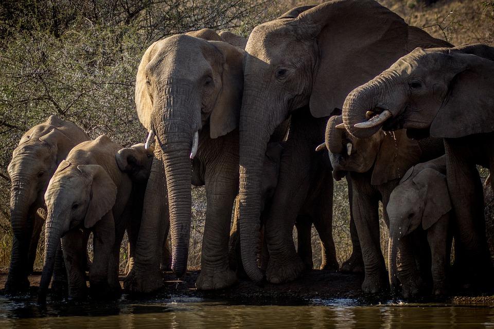 Elephant, Africa, Wildlife, Safari, Pachyderm, Tusk