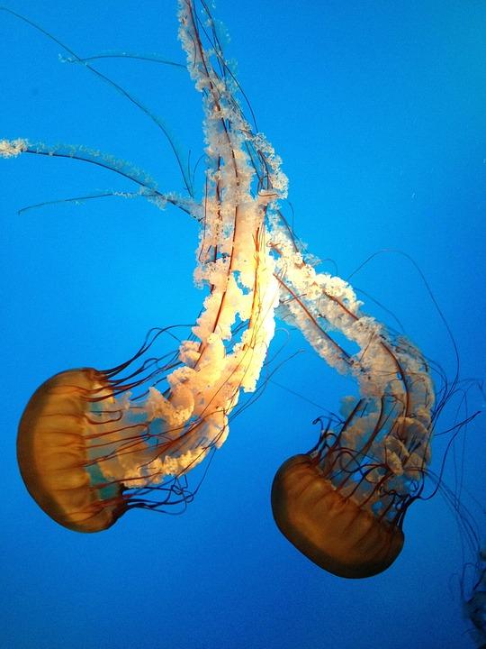 Jellyfish, Aquarium, Wildlife, Aquatic, Underwater