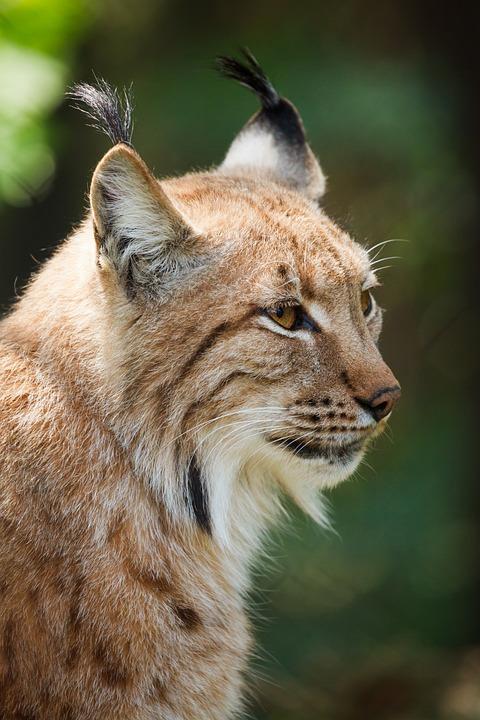 Lynx, Animal, Wildlife, Wild Cat, Mammal, Wild Animal