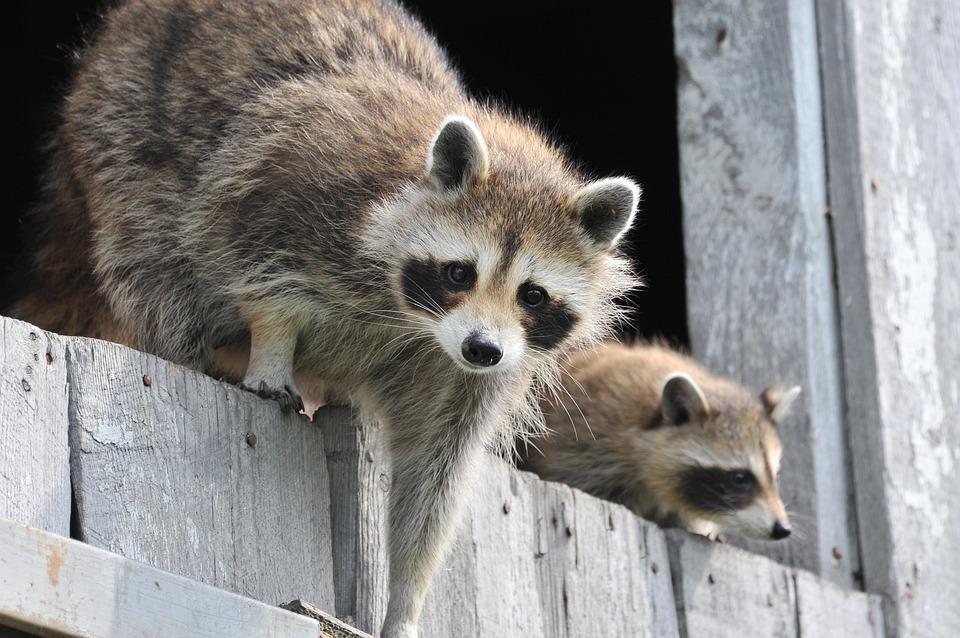 Baby Raccoon, Wildlife, Wild, Funny, Adorable, Fur