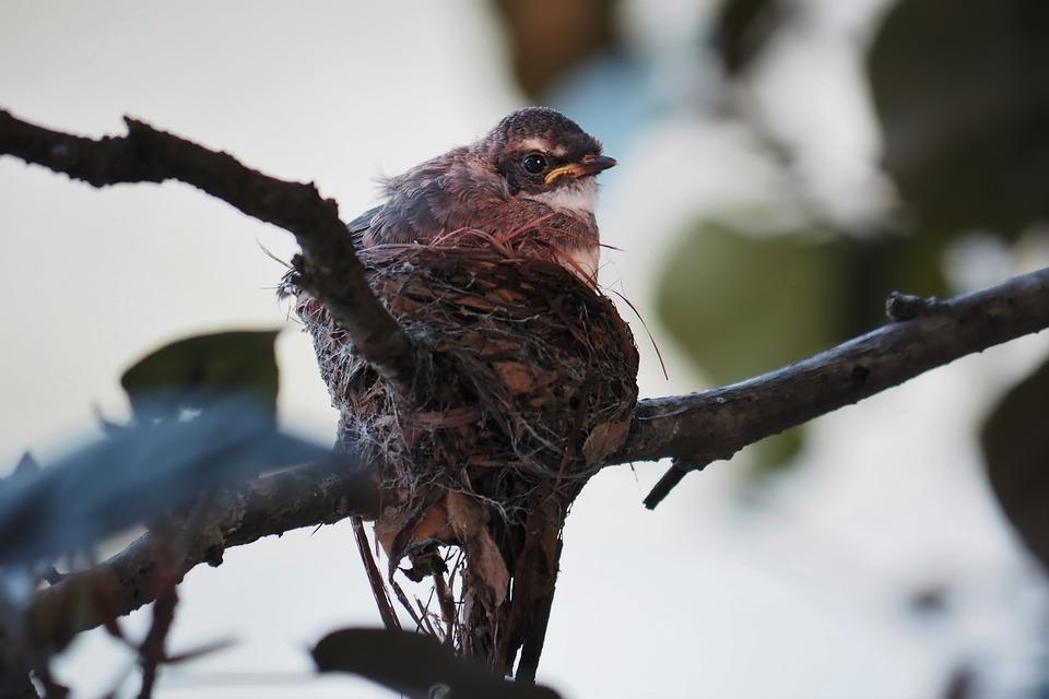Baby Bird In Nest, Wild, Bird, Baby, Wildlife, Nest