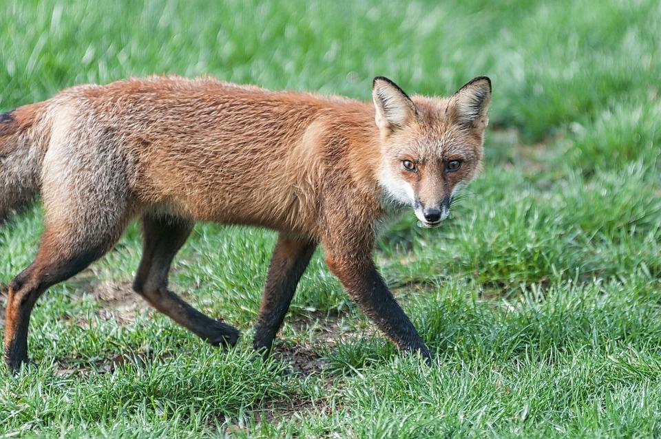 Fox, Wildlife, Red, Predator, Outdoor, Wild, Animal