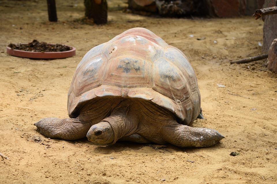 Tortoise, Turtle, Giant, Animal, Wildlife, Wild