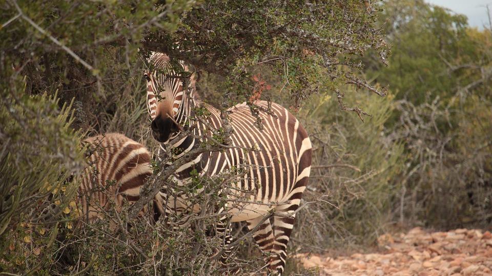 Zebra, Animal, Equine, Mammal, Wildlife, Wilderness