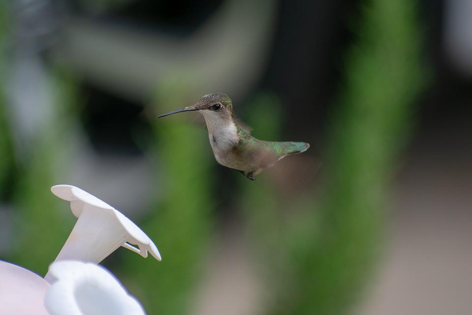 Bird, Nature, Hummingbird, Green, Wildlife, Wing