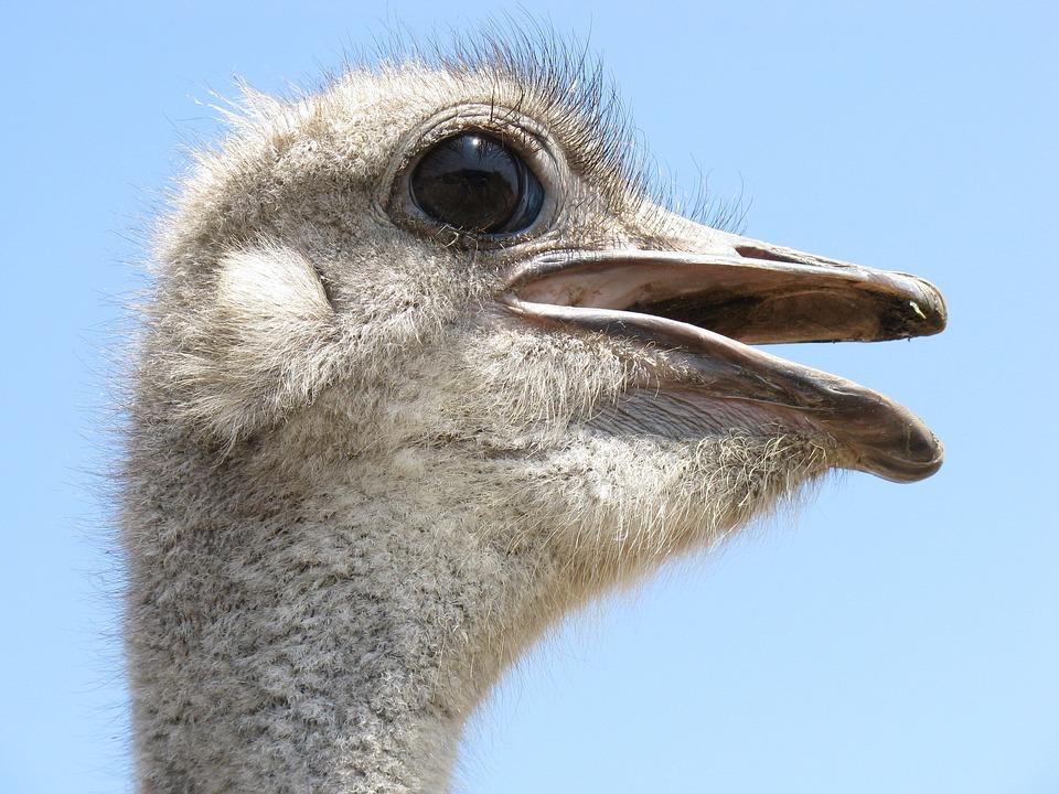 Ostrich, Bird, Head, Wings, Feather, Wildlife, Beak