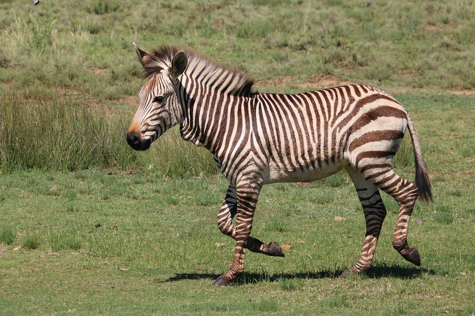 Zebra, Hartmann's, Mountain Zebra, Stripes, Wildlife