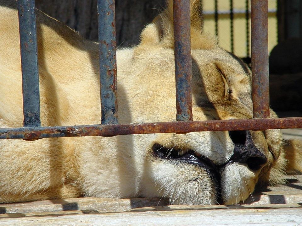 Zoo, Lions, Sleepy Lion, Animal, Wildlife, Wild