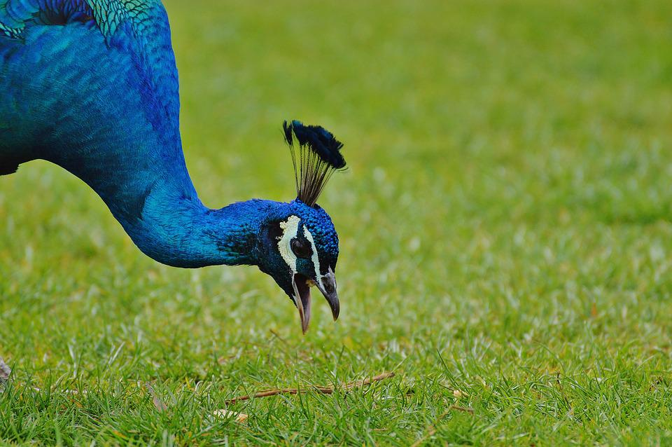 Peacock, Wildpark Poing, Bird, Poultry, Feather, Bill