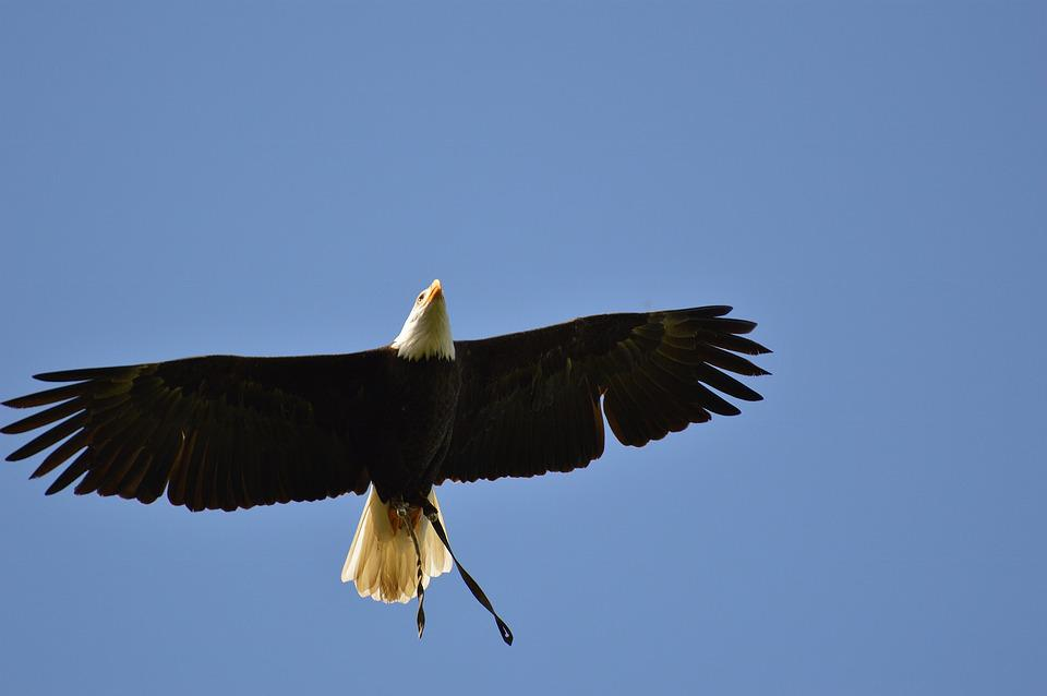 Bald Eagles, Wildpark Poing, Fly, Bird Of Prey, Plumage