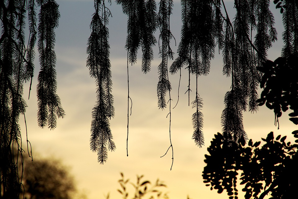 Willow, Tree, Branch, Light And Shade