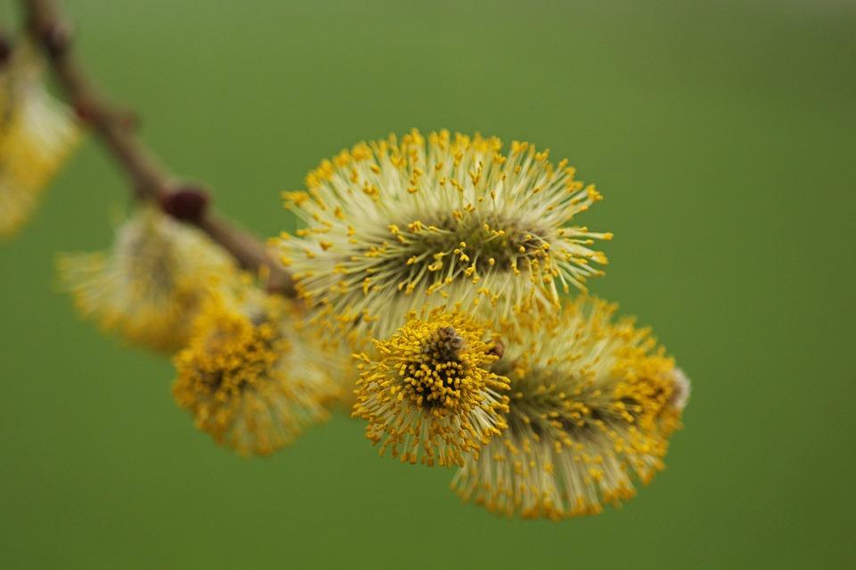 Willow Catkin, Pasture, Nature, Spring, Close Up