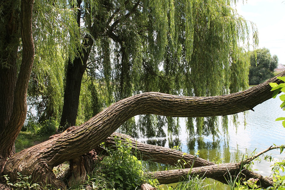 Verba, Willow, Nature, Tree, Wild, Trees, Water, Green