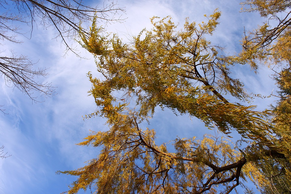 Willow, Leaves, Sky, Tree, Trees