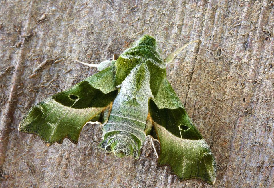 Willow-herb-hawk-moth, Wings, Pattern, Insect, Nature