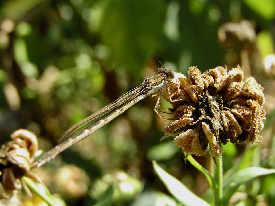 Dragonfly, Brown, Insect, Wilted Flower, Garden, Macro