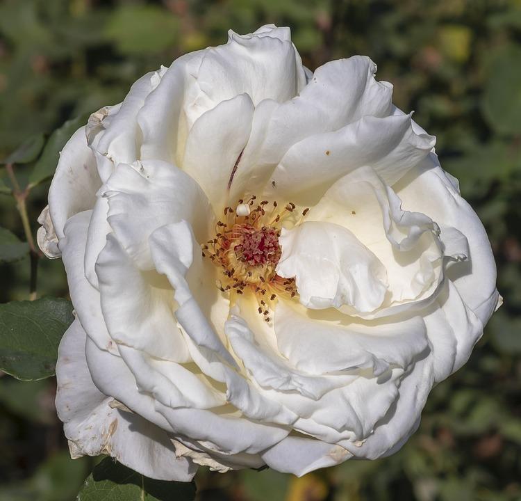 Rose, Flower, White, Wilting, Nature, Romantic, Scent