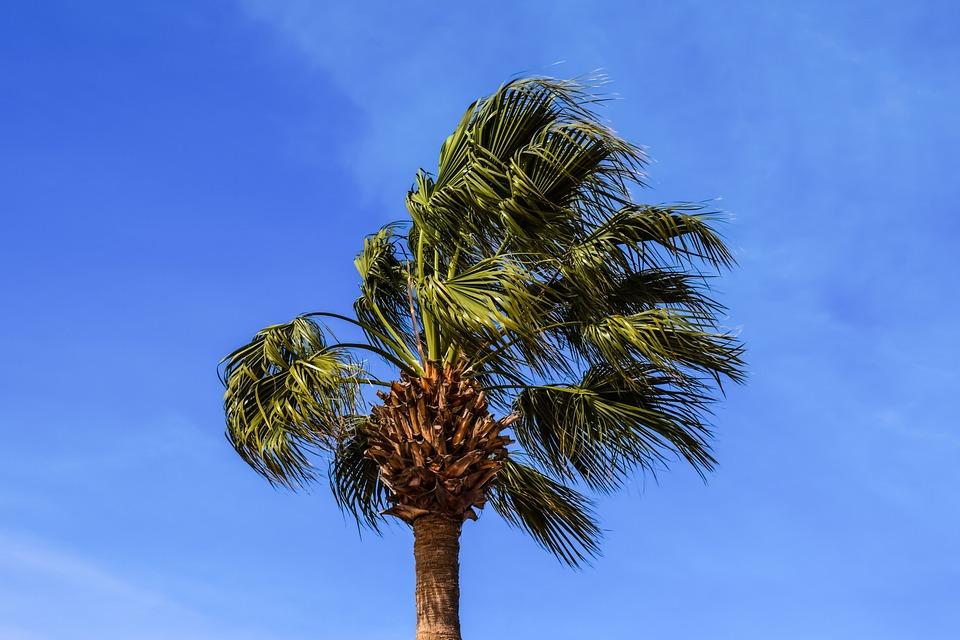 Palm Tree, Tree, Tropical, Nature, Plant, Wind