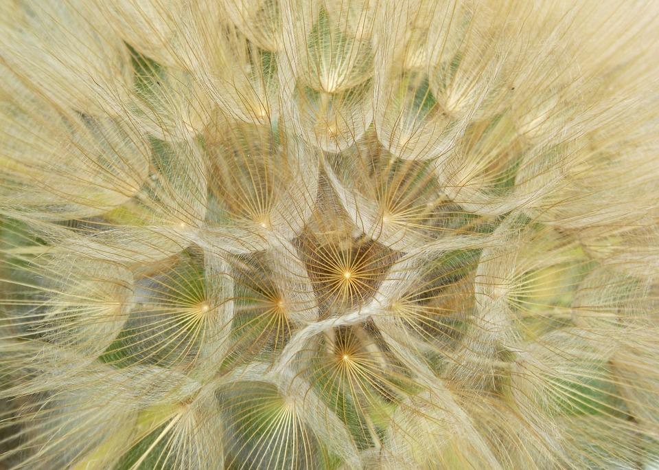 Dandelion, Plant Architecture, Seeds, Wind