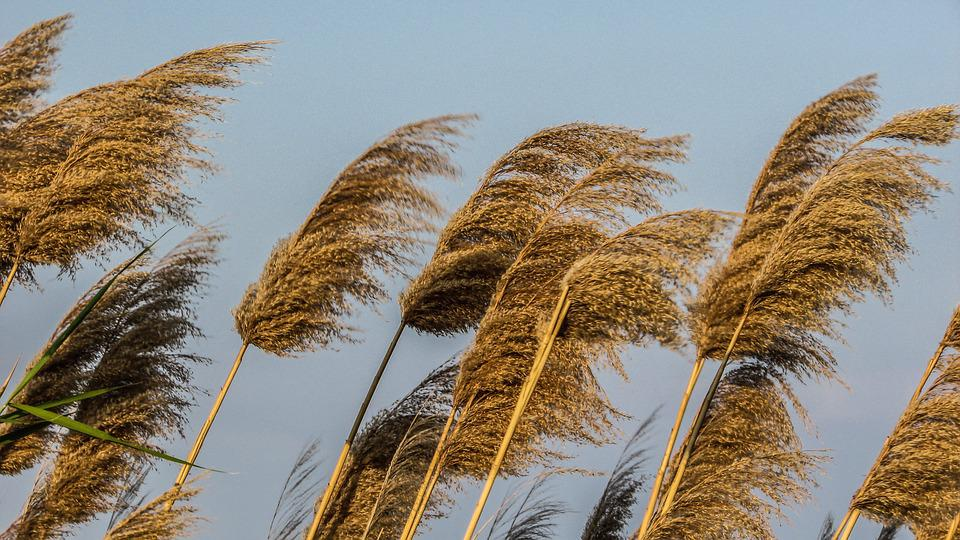 Reeds, Plant, Gold, Nature, Countryside, Wind
