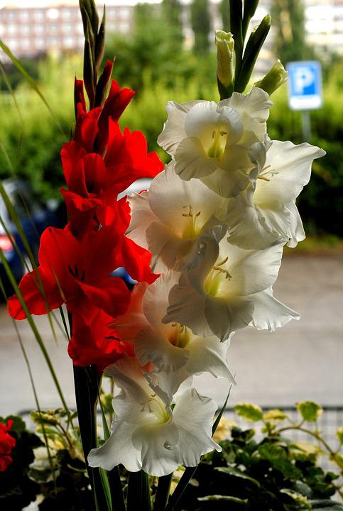 Window, Flowers, Gladiolus, Red, White