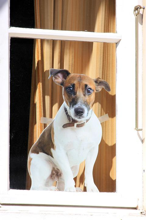Dog, Window, Guard, Ear, Cute, Animals, Animal, Happy